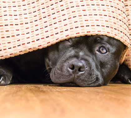 Dog hiding because it did something naughty
